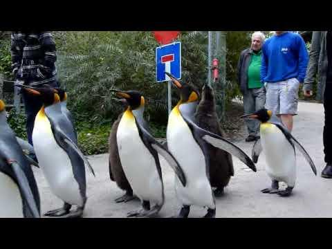 King Penguin Parade 3