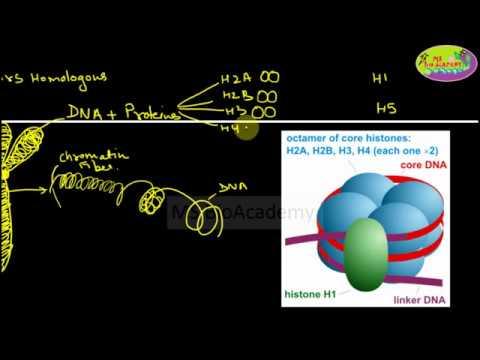 Homologous Chromosomes, Sister Chromatids, Chromatin, Nucleosomes, Solenoid, Gene, DNA, NitrogenousB