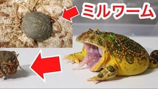 カエルに大量のミルワームが食べる練り餌をあげてみた結果…かわいすぎた! thumbnail
