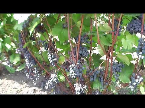 Сорта винограда, П-26 и П-33!