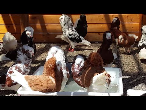 Altholländische Kapuziner Tauben / old dutch capuchine / capucin Hollandaise pigeons