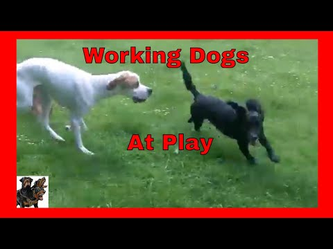 English Pointer - At Play