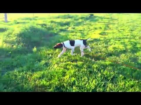 Cedar Creek Gun Dogs - Doc - 5 Months Old