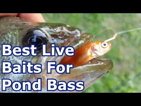 Bass Fishing With Goldfish And Minnows (Live Bait) - Summer Pond Fishing