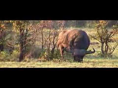 impressive cape buffalo in Kruger