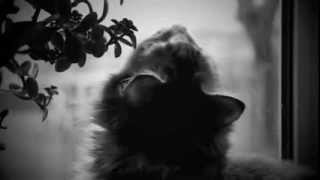 """Кошка породы """"Мейн Кун"""" наблюдает за птицами"""