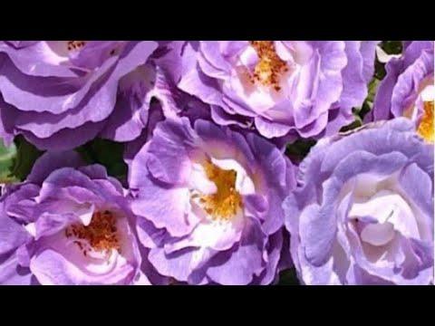 Как посадить саженцы роз Осенью? How to transplant a rose?