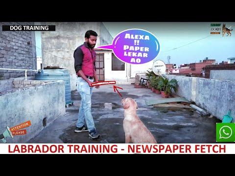 Labrador Training - Day 7 : Dog Newspaper Fetch Command in Hindi