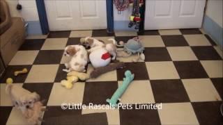 Little Rascals Uk Breeders New Litter Of Pugalier Puppies