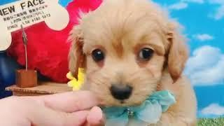 ペットショップ 犬の家 尼崎店 「86909:ハーフ犬(チワプー)」