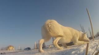 このビデオは ケベックのおもいで canada quebec shien dog life.
