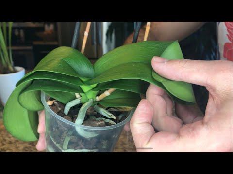 Rehabilitating Dehydrated Orchids: Semi-Hydroponics