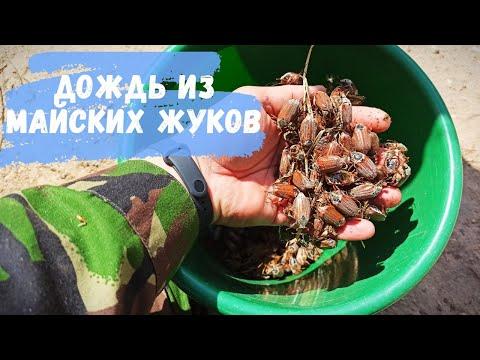 Вопрос: Почему майские жуки не встречаются ежегодно?
