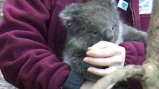 Repeat youtube video CUTE Baby Koala Part 2