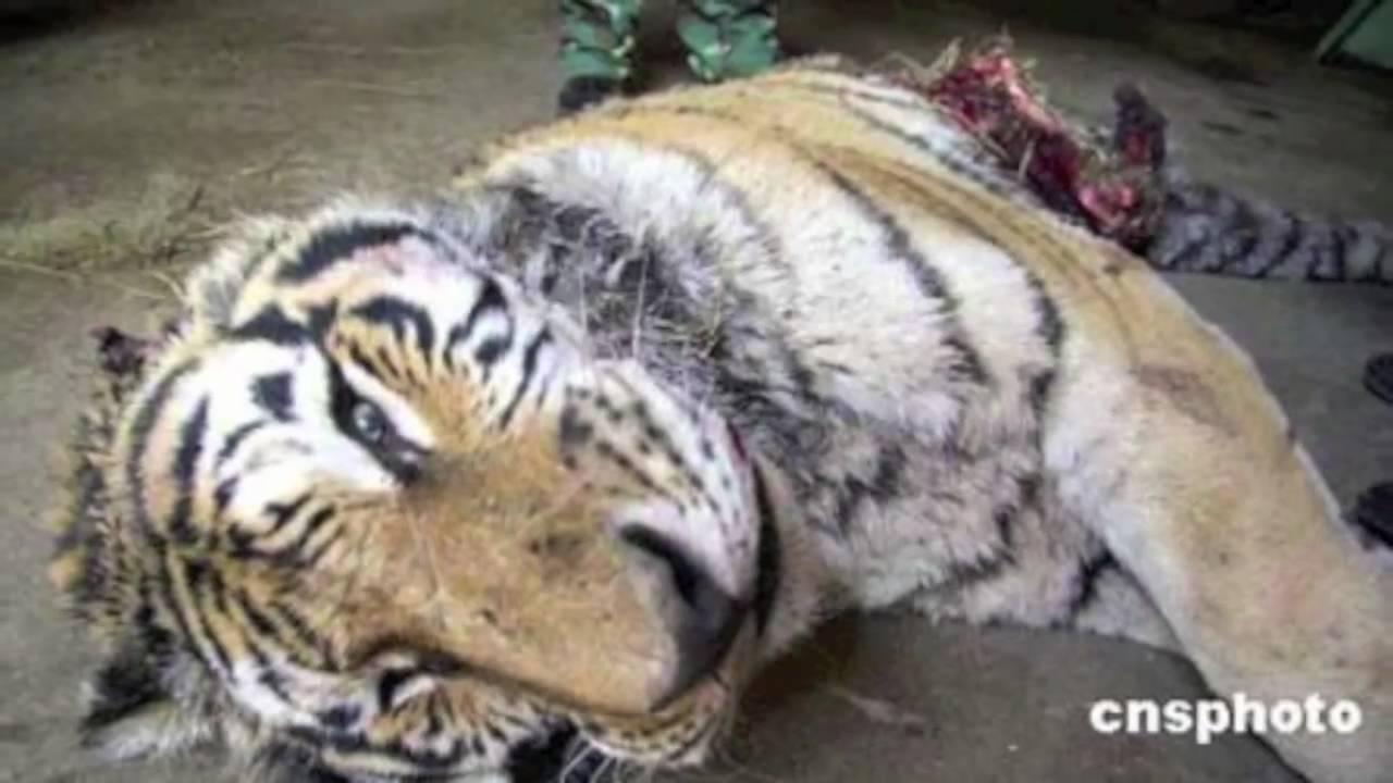 Siberian tigers poaching - photo#17
