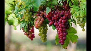 видео Виноград - польза и вред для здоровья организма