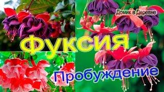 ФУКСИЯ. Пробуждение от сна!!!
