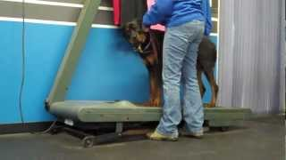 Archie Learns The Treadmill At Columbus K9