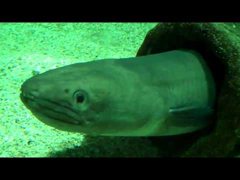 Vote no on 6 metres giant conger eel for Fish swimming backwards