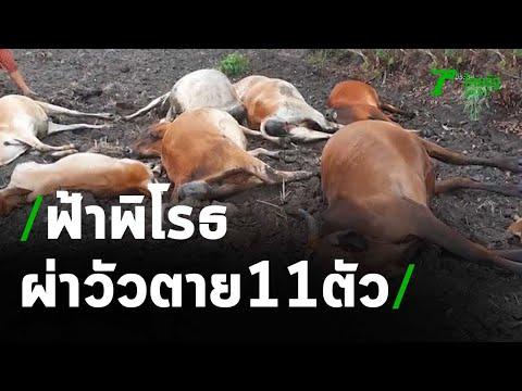 เจ้าของสุดเศร้า ฟ้าพิโรธ ผ่าวัวตาย 11 ตัว | 04-05-64 | ห้องข่าวหัวเขียว