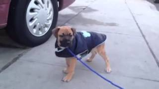 Tyson The Mastiff Mix Puppy For Adoption From Ruff House Rescue