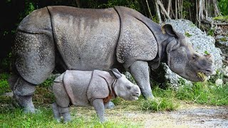 rhino-runs-away-after-revealing-gender-of-his-baby