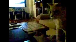 Golden Retriever X Poodle (groodle) Excited By Australian Mist Cat