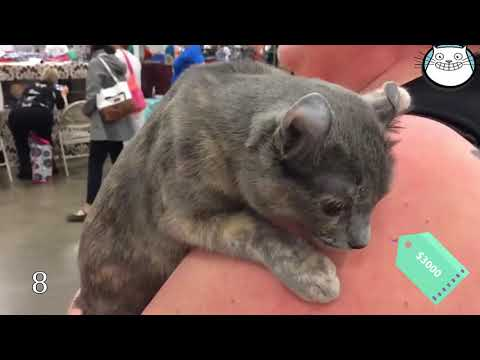 Talking Cat😻Top 15 Most Expensive And Rare Cat Breeds