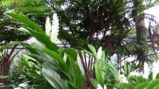 """Alpinia Purpurata """"Purest White"""" Ginger"""