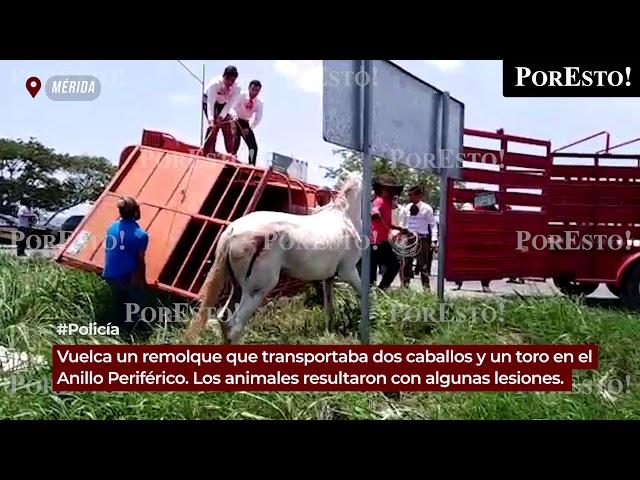 Vuelca remolque que transportaba dos caballos y un toro