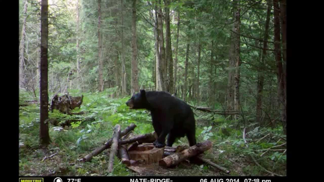 Bear Baiting Northern Wisconsin Youtube