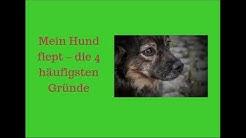 Mein Hund fiept - die 4 häufigsten Gründe + Gegenmaßnahmen und Handlungsempfehlungen