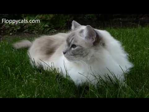 Ragdoll Cat Trigg Hanging Out Outside May 2016 - ねこ - ラグドール - = ネコ - ねこ- Floppycats