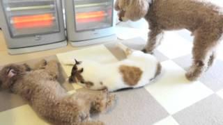 三毛猫と後輩トイプードルが寝ているところにやってきたおっさん。仲間...