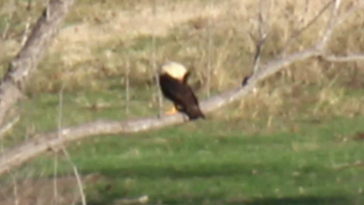 crested caracara the mexican eagle in dallas county texas youtube