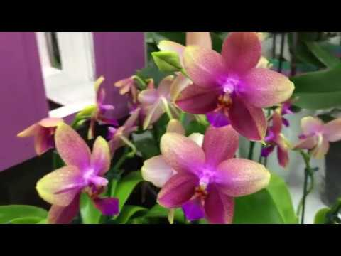 Орхидеи Дикий кот, Лиодоро, Мастерпис и что я купила на уценке?)