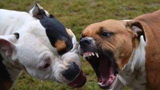 Salva il cane dall'attacco di un Pitbull.