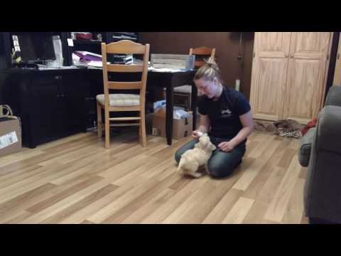 Puppy Temperament Testing for Winding Creek Ranch Mini Goldendoodles - purple collar girl
