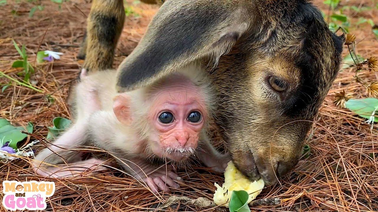 Cute baby monkey learn to eat banana