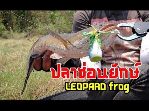 ปลาช่อนยักษ์ มันส์ต้องโดนแบบนี้  by LEOPARD frog