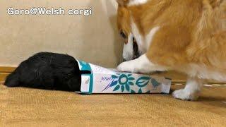 Kuro In Box / 箱に入るクロさん 20150704 Goro@welsh Corgi Dog Cat Kitten 子猫 Kitty