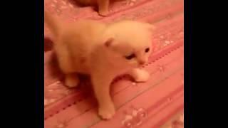 шотландские вислоухие котята Стерлитамак.Kittens.