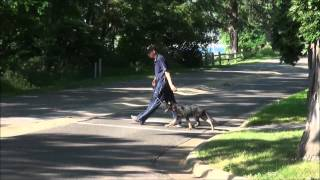 Rocky (german Shepherd) Boot Camp Dog Training Video