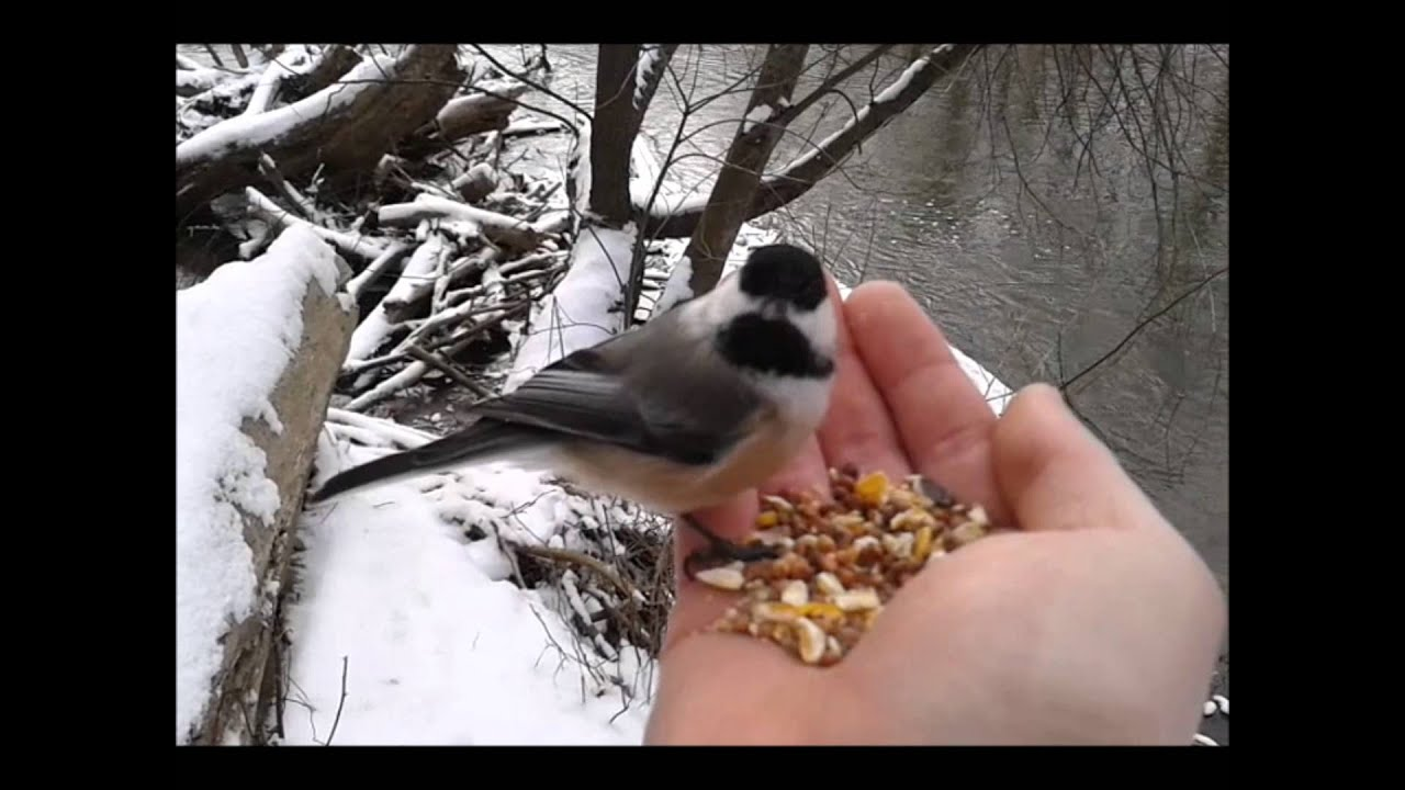 what to feed baby chickadees
