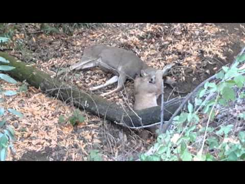 Thumbnail: Mountain Lion vs 4 point buck 11/1/2015