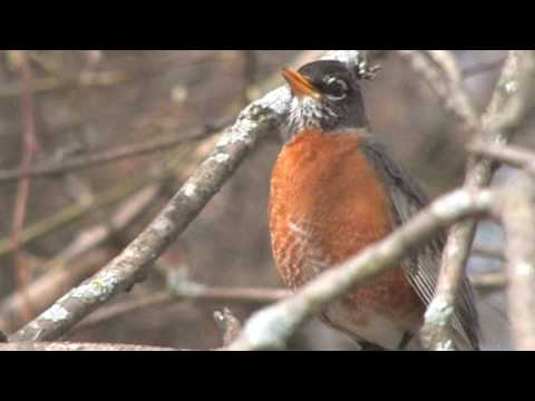 Turdus Retardus -- a new species of North American thrush related to the American Robin.