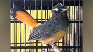 Siulan Merdu Cempala Kuneng | Burung Kebanggaan Aceh