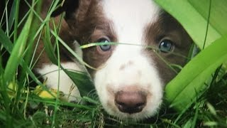 Cute Border Collie Puppies Playing!