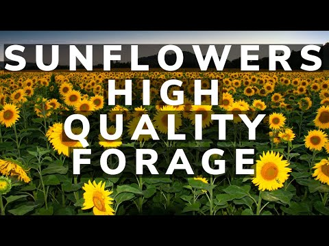 Sunflowers and using them as a high quality forage for your livestock in a perennial pasture field.