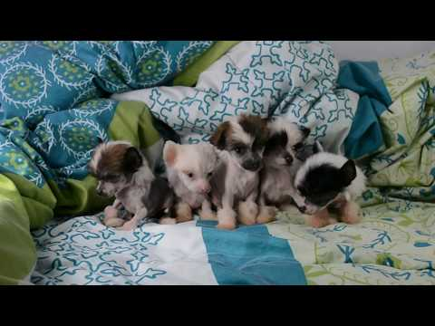 Hairless Chinese Crested puppies part 1 6 wks